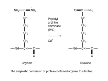The enzymatic conversion of protein-contained arginine to citrulline.